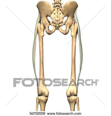 Stock Illustration of Posterior view of the thigh showing