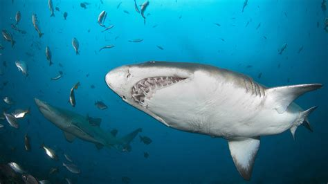 Shark social networking | UDaily