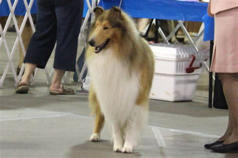 Collie (Smooth And Rough Coat) Breed Information, Collie