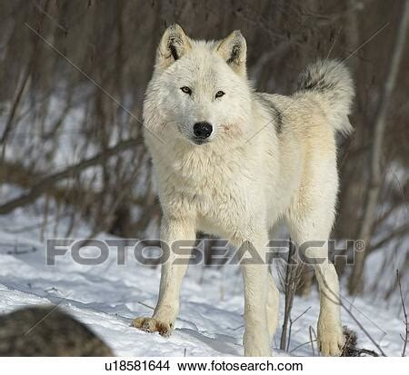 Stock Photo of White Timber Wolf u18581644 - Search Stock
