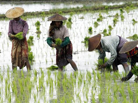 Rice farming up to twice as bad for climate change as