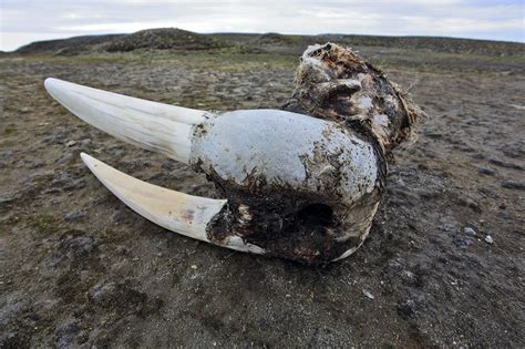 Hunting and Ivory Trade Likely Drove Icelandic Walrus to