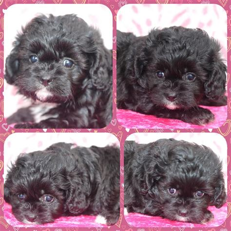Cavachon Puppies for sale in Minesota