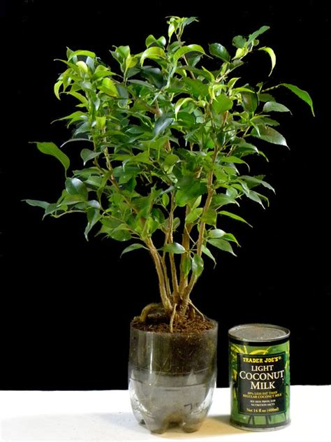 One Year Old Ficus Benjamina Growing in a Recycled Soda/Po