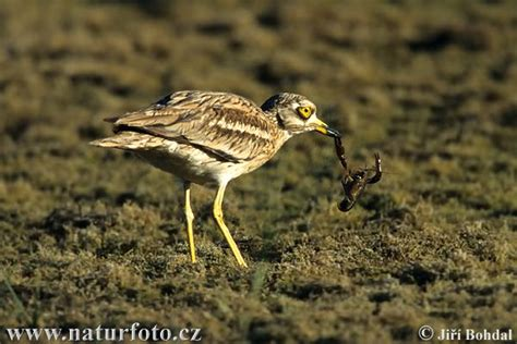 Stone-curlew Photos, Stone-curlew Images, Nature Wildlife