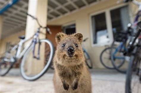 Look At These 7 Happy Quokkas (And Rejoice)