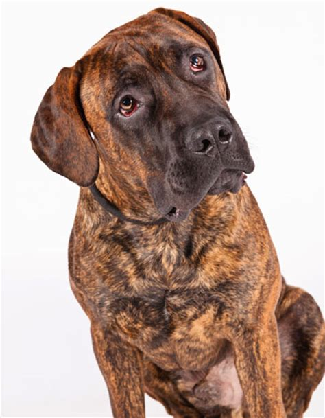 Meet AKC's Four Newly Recognized Breeds – American Kennel Club