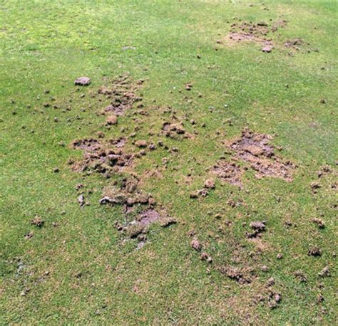 Ataenius and cutworms feeding on golf courses - MSU Extension