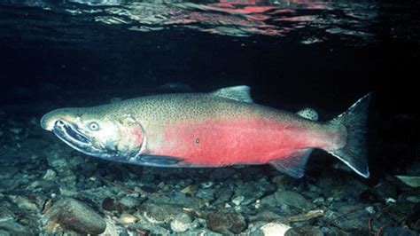 The Smith River and the Future of California's Coho Salmon