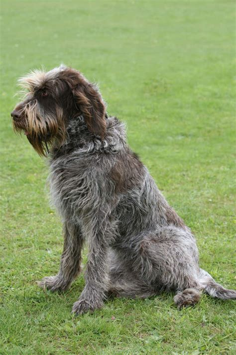 Spinone | Chiens | Informations sur les races | Omlet