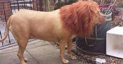 See barking mad pictures of dog disguised as a LION
