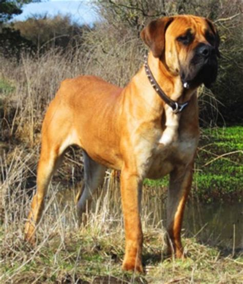 Popular Dogs In Nigeria And Their Breed Info (pics) - Pets