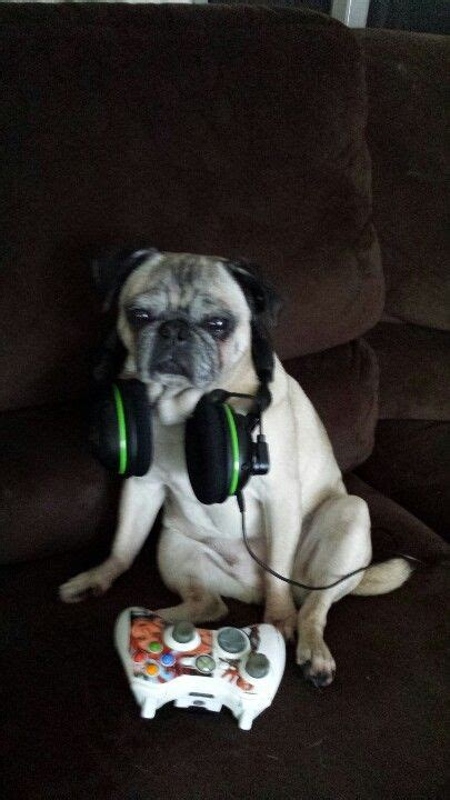We're guessing this pug playing Xbox is more excited than