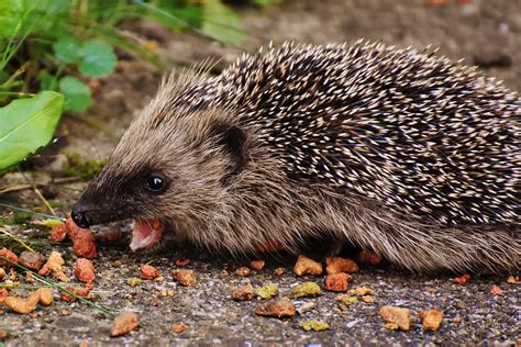 Free Images : nature, prickly, cute, wildlife, meal